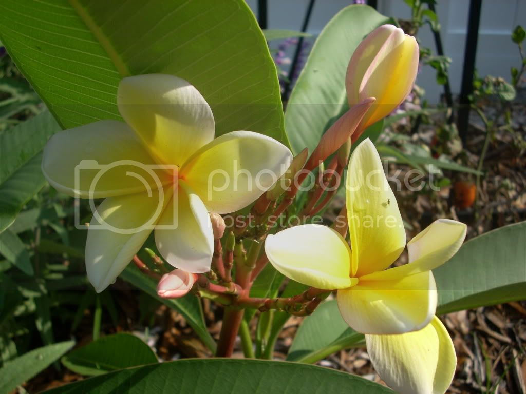 yellow plumeria